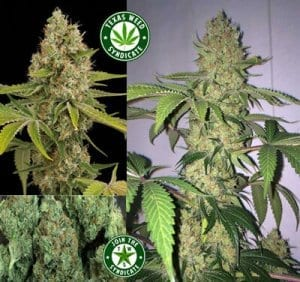 Find Marijuana Info Here